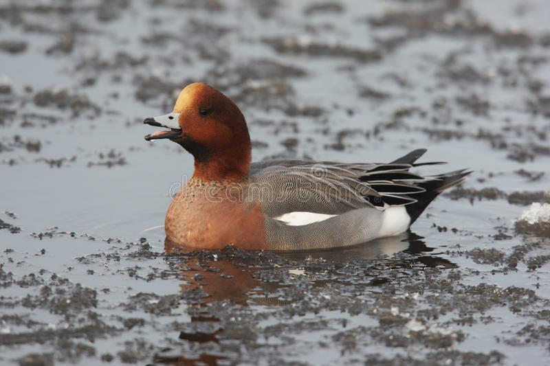 Download Wigeon, Anas penelope stock photo. Image of lake, penelope - 33592520