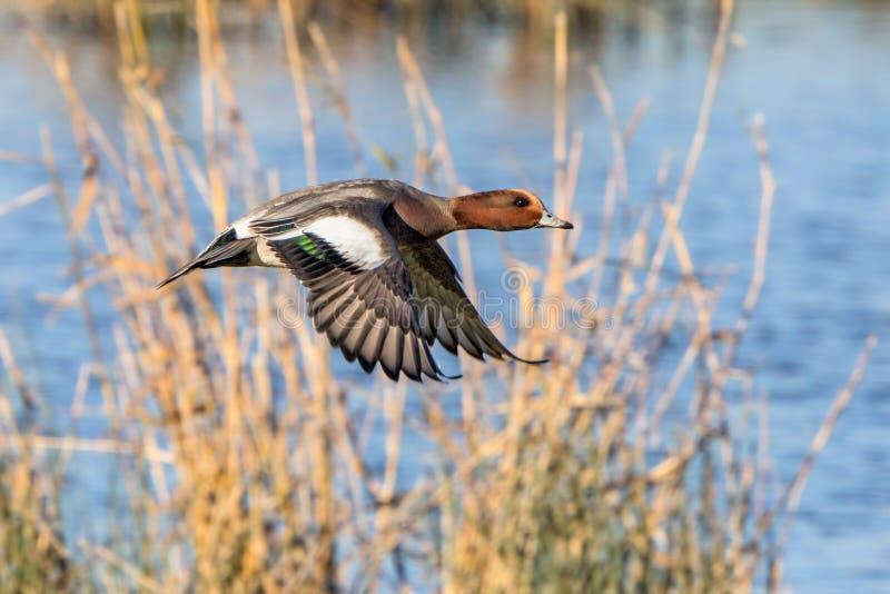 Wigeon euro-asiático Drake - Anas Penélope, voando sobre um pantanal fotografia de stock royalty free