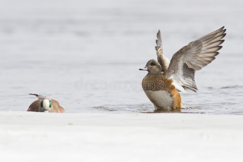 Download Wigeon pair stock image. Image of animals, three, panorama - 38676985