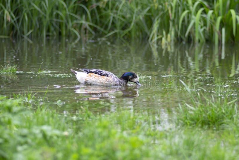 Wigeon salvaje hermoso de Chiloe que nada en la pequeña charca en el parque verde, pájaro de agua salvaje del sibilatrix de Marec imagenes de archivo