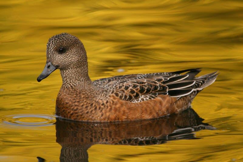 Wigeon in silk-like water stock photos