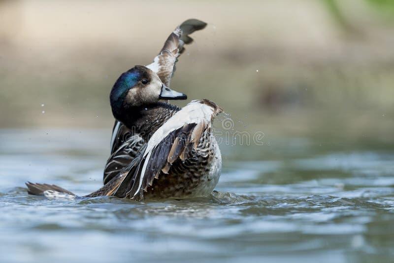 Wiild-Ente beim Spritzen auf Wasser lizenzfreie stockbilder