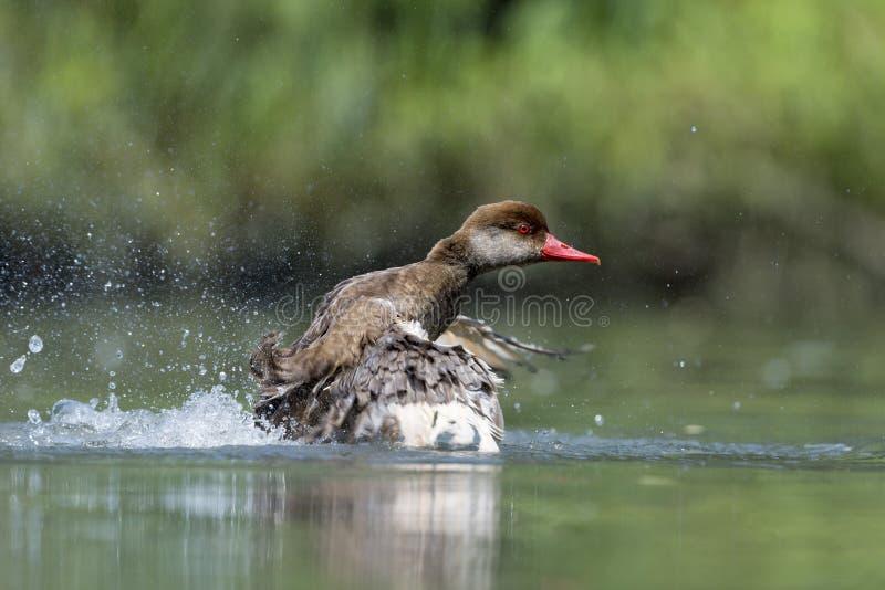 Wiild-Ente beim Spritzen auf Wasser stockfoto