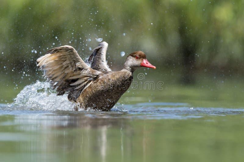 Wiild-Ente beim Spritzen auf Wasser lizenzfreies stockbild
