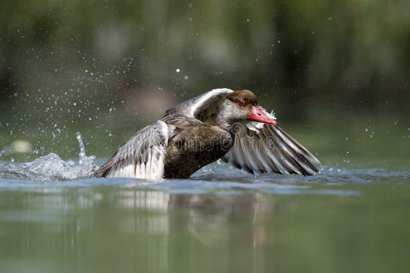 Wiild-Ente beim Spritzen auf Wasser stockfotos