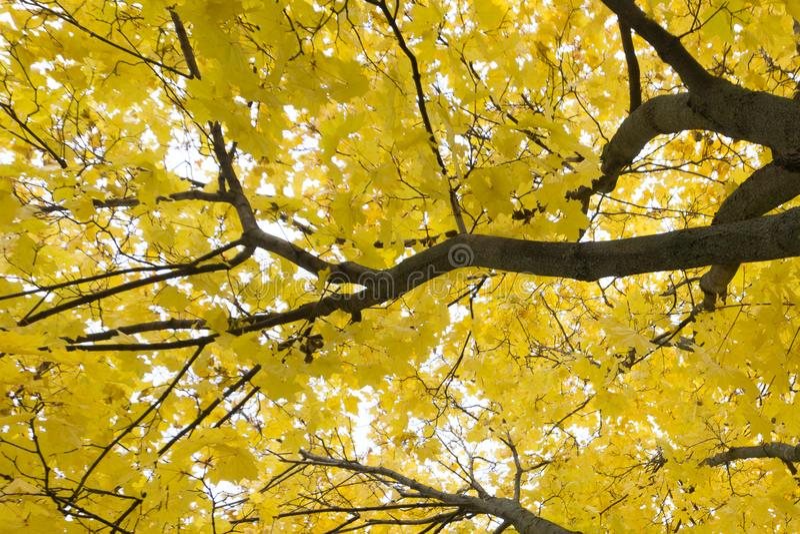 Wijd geschoten van helder geel en groen gebladerte van espbomen in de herfst eiken bos, Belgorod-gebied in zuidelijk Rusland royalty-vrije stock afbeelding