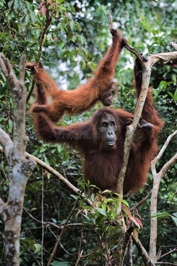 Wijfje de orangoetan met een welp. royalty-vrije stock foto