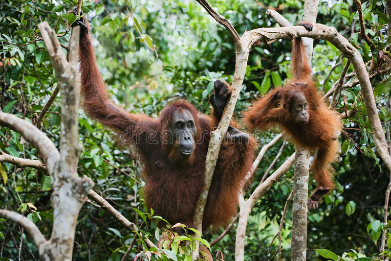 Wijfje de orangoetan met het jonge geitje. stock fotografie