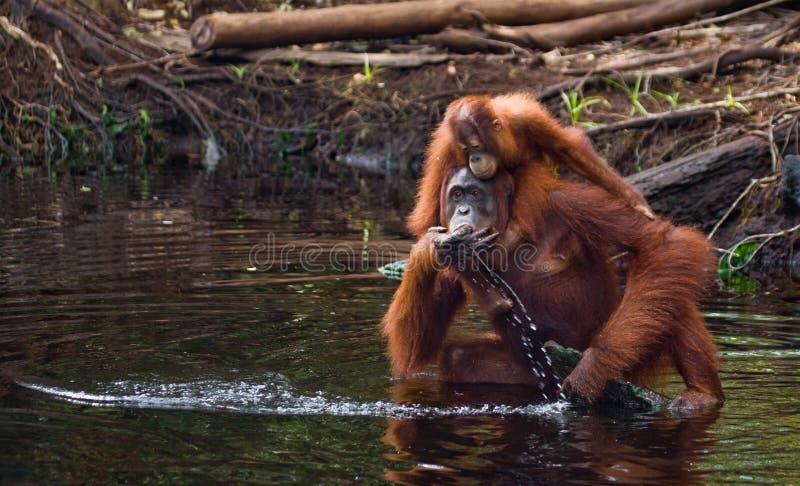 Wijfje en babyorangoetan drinkwater van de rivier in de wildernis indonesië Het eiland van Kalimantan & x28; Borneo& x29; stock afbeeldingen