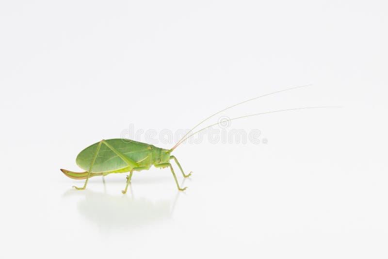 Wijfje katydid met ovipositor stock foto's