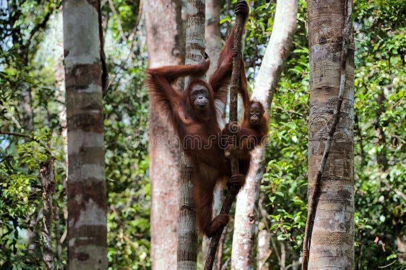Wijfje met het jonge geitje van de orangoetan op een boom. stock foto