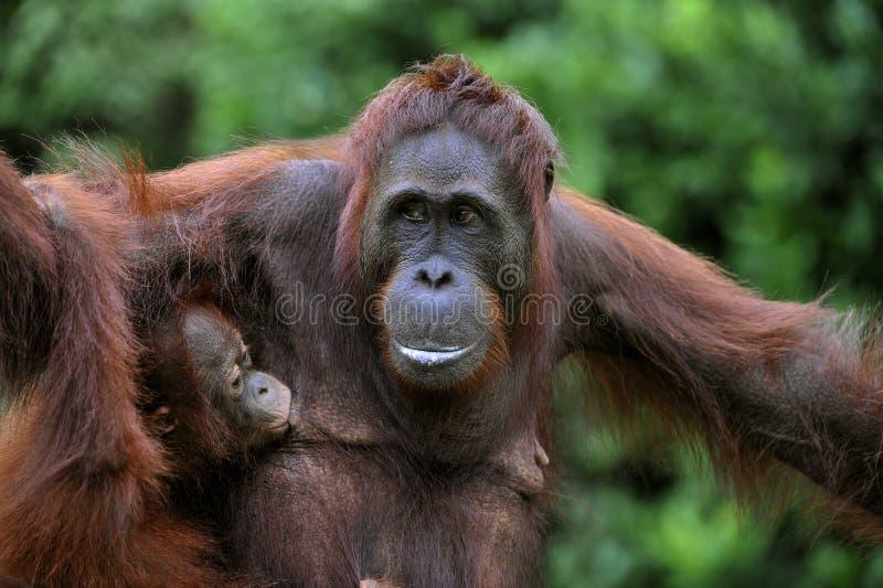 Wijfje van de orangoetan met een baby. royalty-vrije stock foto's