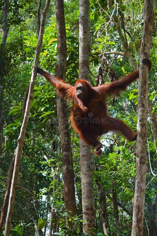 Wijfje van de orangoetan met een welp. stock afbeeldingen