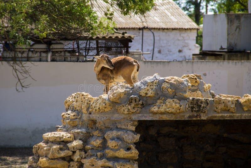 Wijfje van Europese mouflon stock fotografie