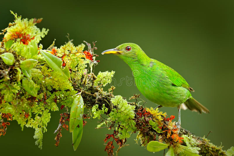 Wijfje van Groene Honeycreeper, Chlorophanes-spiza, de exotische tropische vorm Costa Rica van de malachiet groene en blauwe voge royalty-vrije stock afbeelding