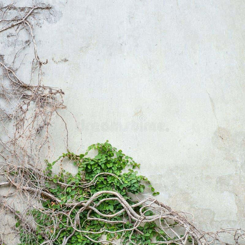 Wijnbouw op concrete muur stock fotografie
