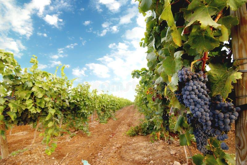 Wijngaard stock fotografie