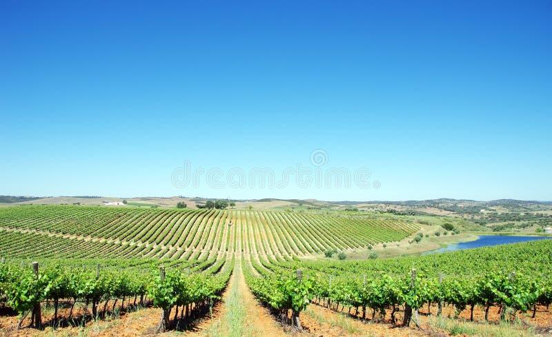 Wijngaard bij Alentejo gebied stock afbeelding
