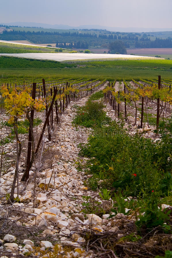Wijngaard bij vallei Hanadiv stock foto