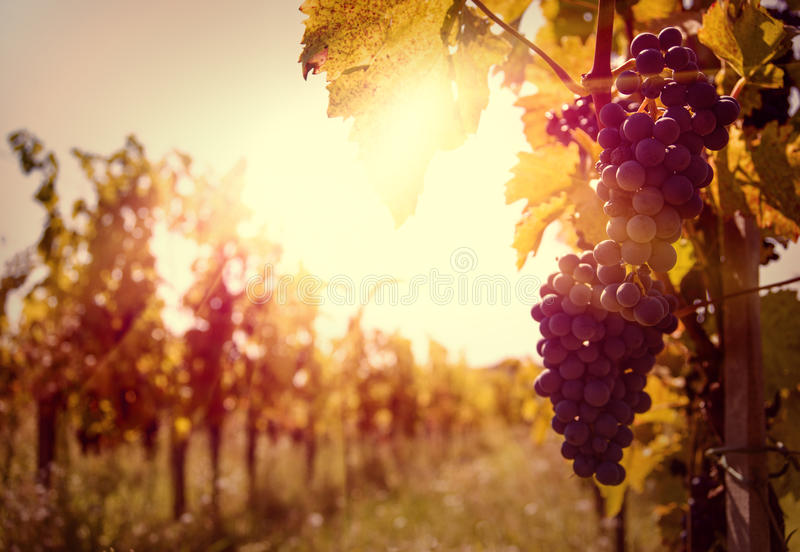 Wijngaard bij zonsondergang stock foto