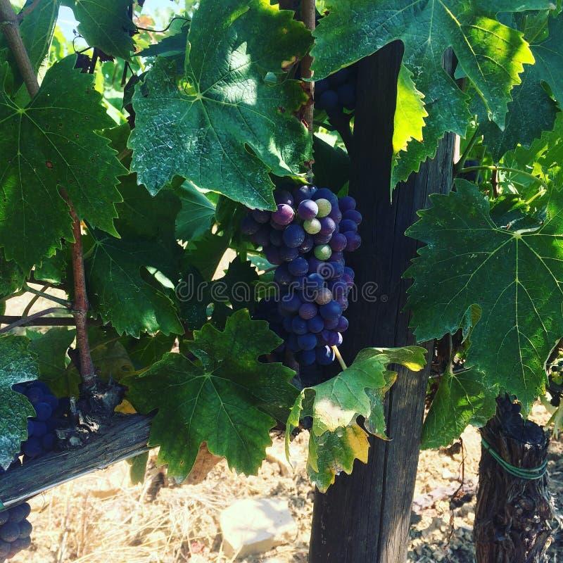 Wijngaard, Chianti, beste wijnmakerij, Rode wijn stock fotografie