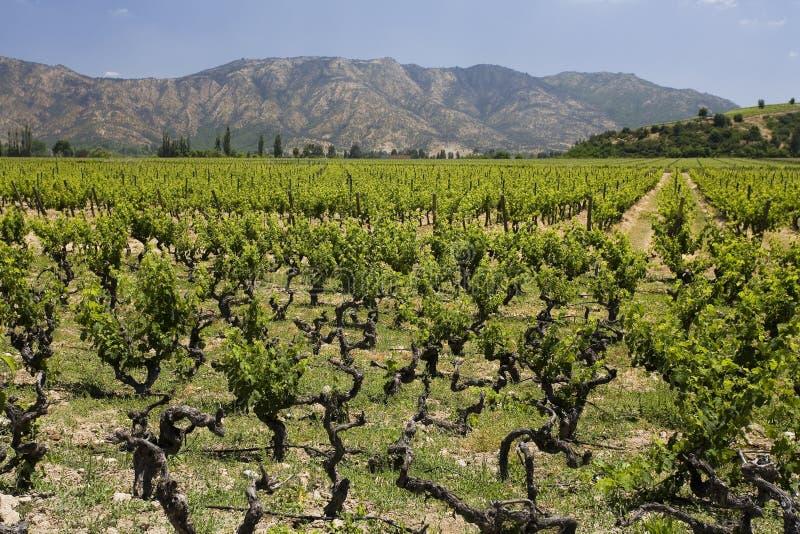 Wijngaard in Chili royalty-vrije stock afbeelding