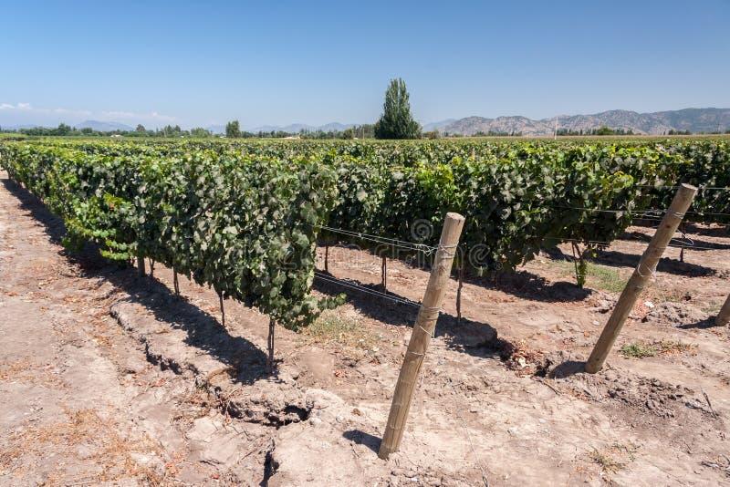Wijngaard in Colchagua Vallei Chili stock afbeelding