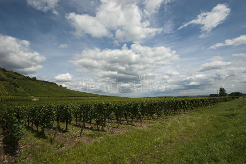 Wijngaard in de Elzas stock foto's