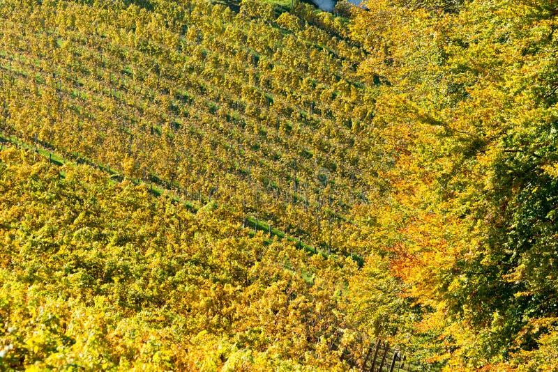 Wijngaard in de Herfst stock foto's