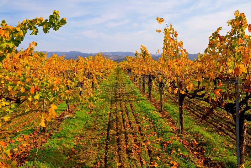 Wijngaard in de herfst stock afbeeldingen