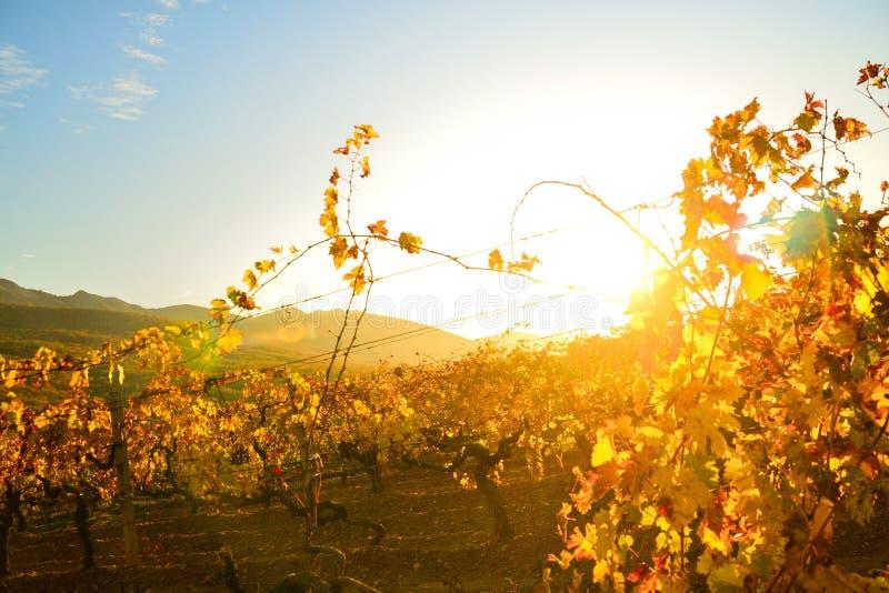 Wijngaard in de herfst in de stralen van zonsondergang stock afbeelding