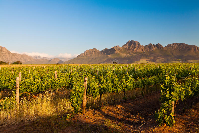 Wijngaard in de heuvels van Zuid-Afrika stock foto's