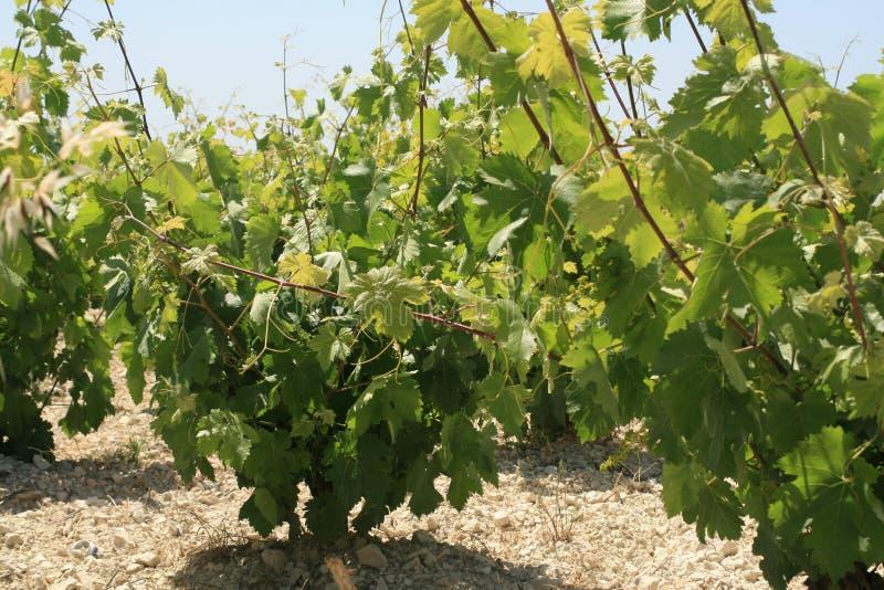 Wijngaard in de lente royalty-vrije stock afbeelding