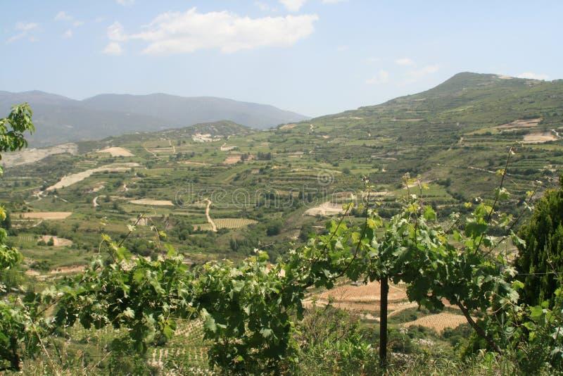Wijngaard in de lente stock foto's