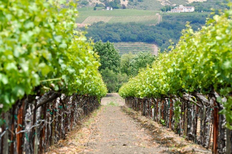 Wijngaard in de Lente stock foto