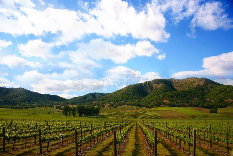Wijngaard in de Lente stock afbeelding