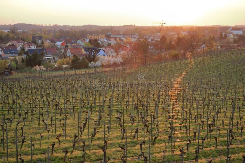 Wijngaard in de Lente in Werder/Havel, Brandenburg, Duitsland stock afbeelding