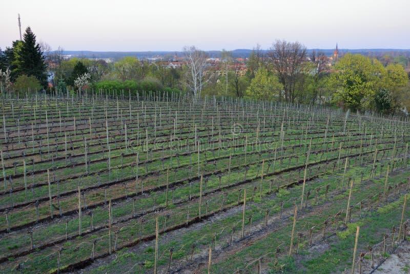 Wijngaard in de Lente in Werder/Havel, Brandenburg, Duitsland stock foto