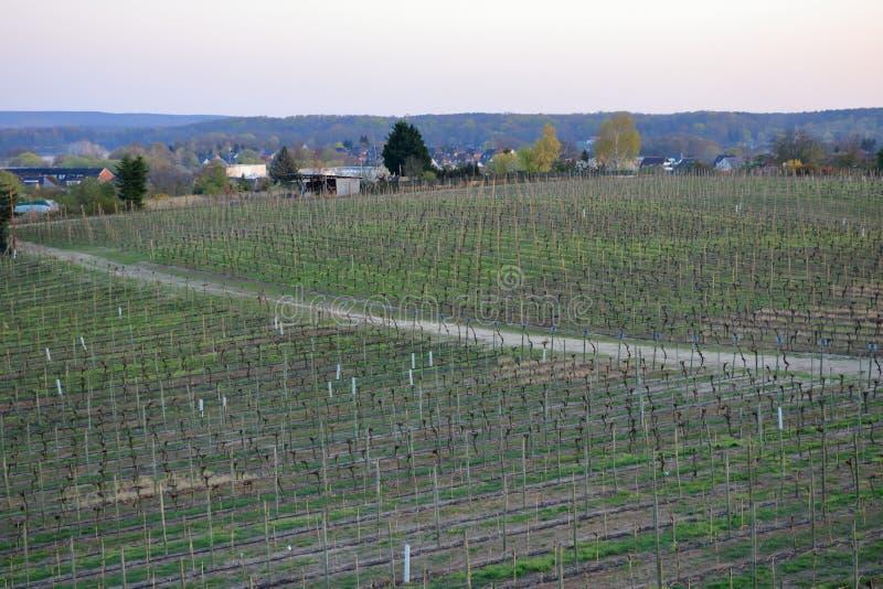Wijngaard in de Lente in Werder/Havel, Brandenburg, Duitsland stock afbeeldingen