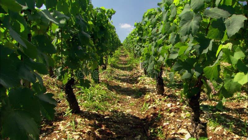 Wijngaard in de rijen van Frankrijk van druiven op wijnstokken stock videobeelden