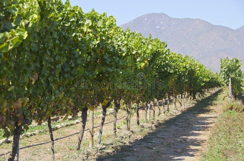 Wijngaard in de Vallei van Casablanca #3 stock fotografie