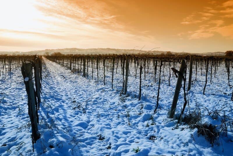 Wijngaard in de winter stock foto