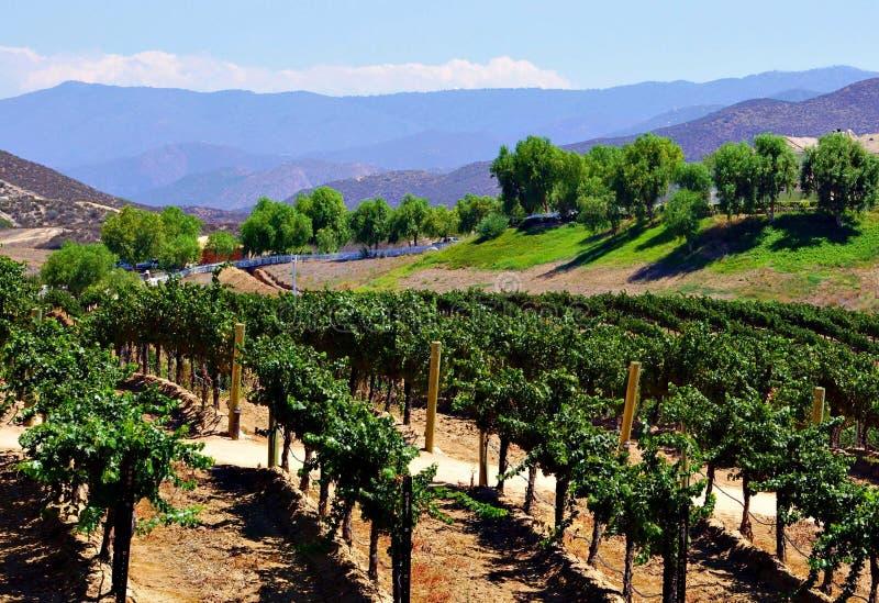 Wijngaard in de zomer met bergachtergrond royalty-vrije stock afbeeldingen