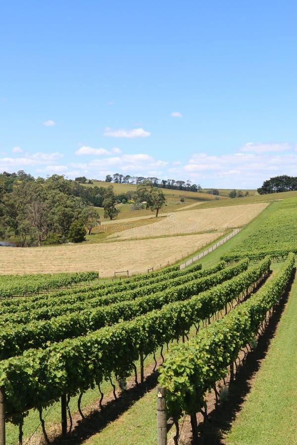 Wijngaard dichtbij Drouin en Warragul in Victoria Australia stock foto