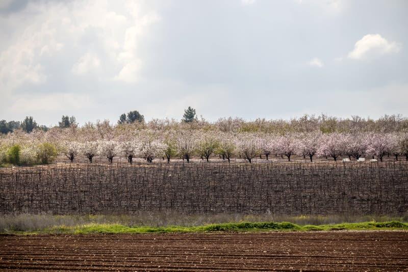 Wijngaard en een tuin van bloeiende amandelen stock afbeeldingen