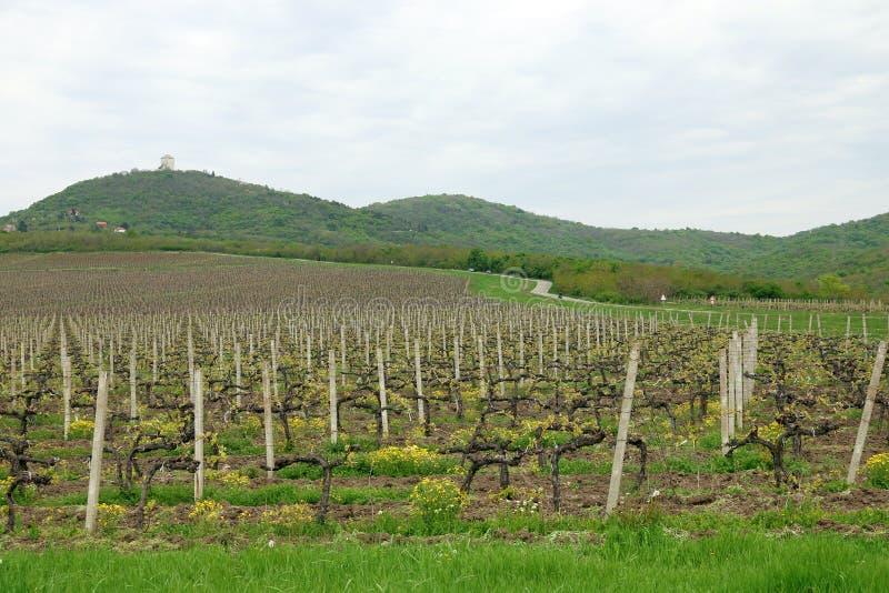 Wijngaard en groene heuvels stock afbeeldingen