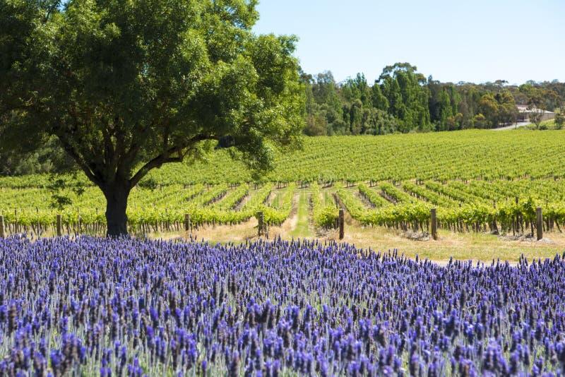 Wijngaard en lavendel, Barossa-Vallei, Australië stock fotografie