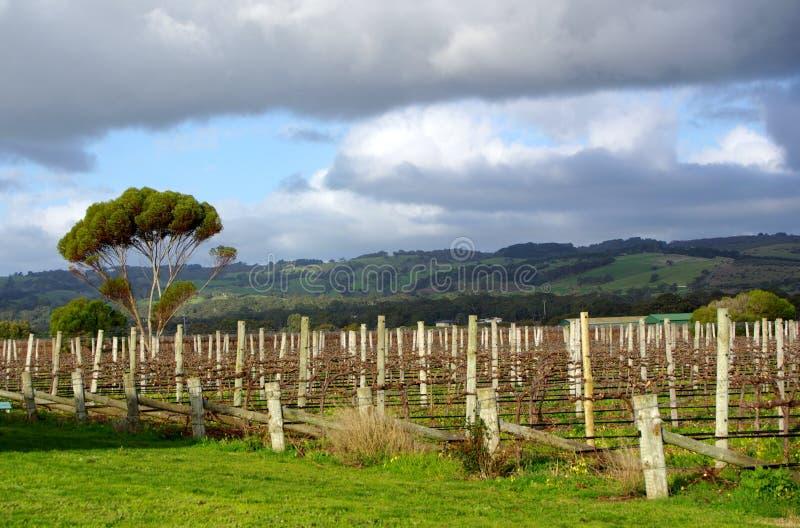 Wijngaard, Eucalyptussen & Heuvels royalty-vrije stock fotografie