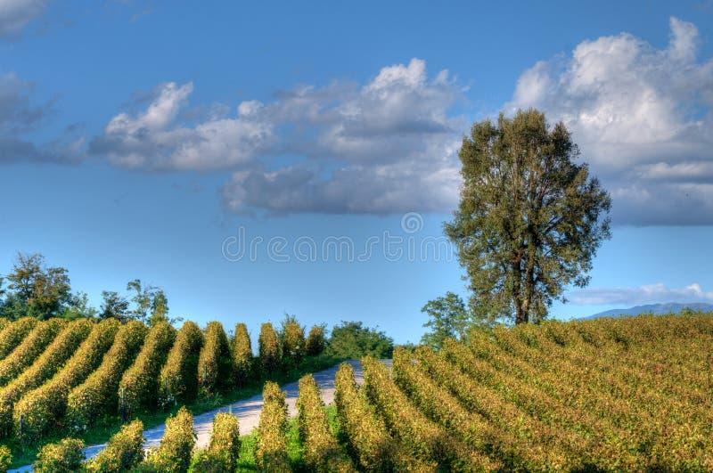Wijngaard in Franciacorta vóór zonsondergang royalty-vrije stock foto's
