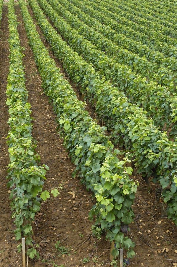 Wijngaard in Frankrijk, Bourgondië stock afbeelding